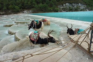 Yaks in the water©Fiona Woolfenden