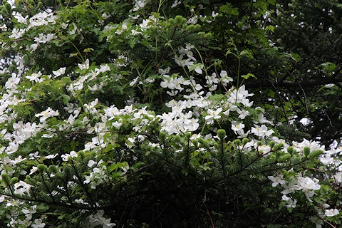 Clematis with white flowers growing at the top of a tree©Ken Woolfenden
