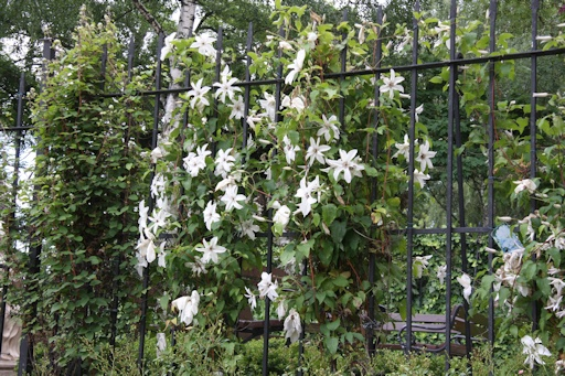 Clematis 'Beautiful Bride'©Ken Woolfenden