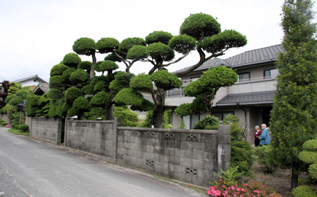 Cloud trees at the nursery of Mr Shibuya