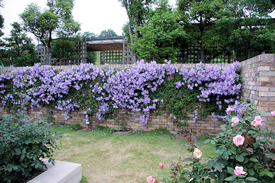 need a clematis for my umbrella trellis. Black Bedroom Furniture Sets. Home Design Ideas