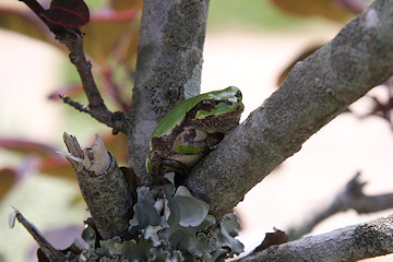 Tree Frog in Fululu Gardens