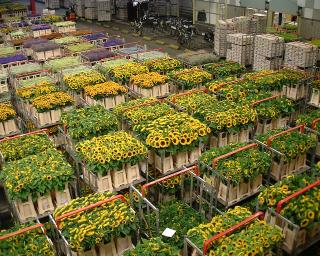 Aalsmeer Flower Auction©K.Woolfenden