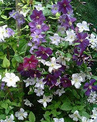 Selection of clematis in garden of Brother Stefan Franczak©K.Woolfenden