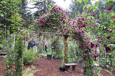 Clematis display area at Silver Star Vinery©K.Woolfenden