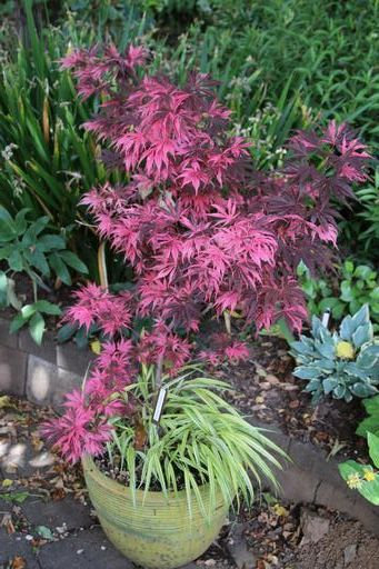 Attractive Acer in pot©Ken Woolfenden