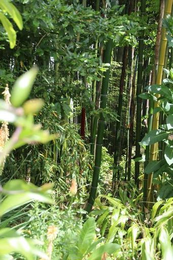 Just one of many impressive bamboo groves©Ken Woolfenden