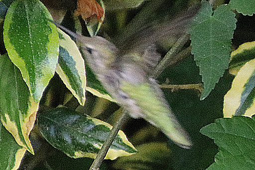 Suddenly I spotted a Hummingbird, but only briefly, they move incredibly fast©Ken Woolfenden