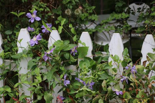 Another nice blue but unknown Clematis on a picket fence©Ken Woolfenden