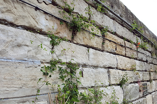 C. cirrhosa growing through wall©Fiona Woolfenden
