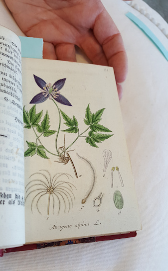C. alpina in book published 1614©Fiona Woolfenden
