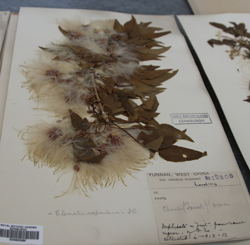 C. napaulensis collected by George Forrest in 1912©Ken Woolfenden