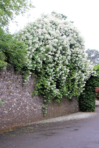 Roses spilling over the wall©Ken Woolfenden