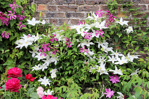 C. 'M. Koster' and a white clematis (no nametag)©Ken Woolfenden