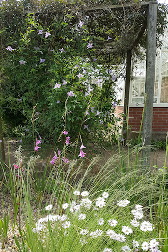 C. 'Betty Corning' and contrasting foreground planting©Fiona Woolfenden