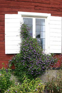 Clematis viticella at Hammarby