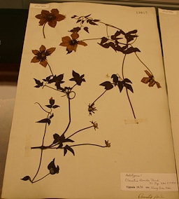 Clematis florida Thunb. Herbarium Specimen of 1784