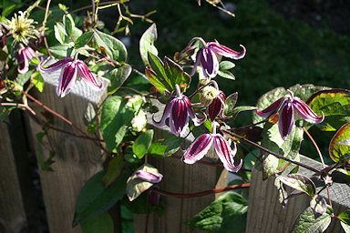 Unknown clematis in garden of Jan Lindmark