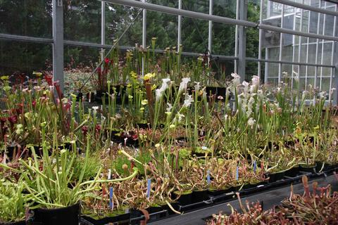 Display of Sarracenia pitcher plants©Ken Woolfenden