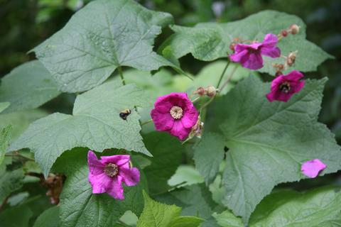 Mount Cuba Center - Rubus odoratus (Flowering Raspberry)