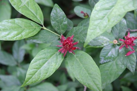 Mount Cuba Center - Calycanthus floridus