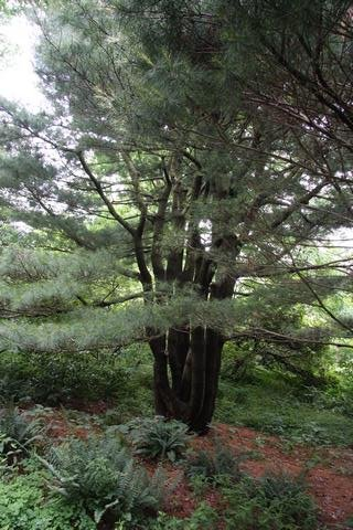 Mount Cuba Center - Multi stemmed Pinus strobus (White Pine)