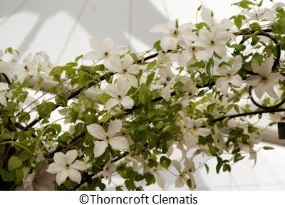 C. 'Zofofri' FOREVER FRIENDS©Thorncroft Clematis