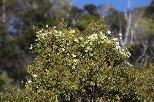Closer view of C. paniculata at top of tree by beach©Ken Woolfenden