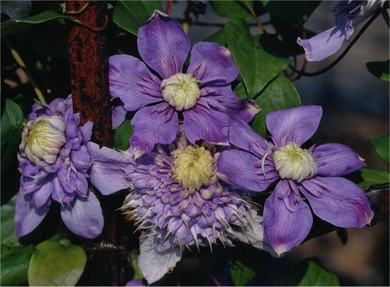 Clematis 'Blue Light'©K.Woolfenden